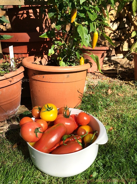 Tomaten vor Chilis