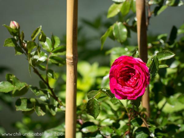 Rose Laguna