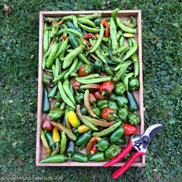 Letzte Chilis