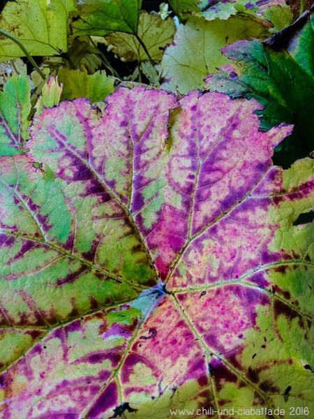 Herbstfärbung beim Schildblatt