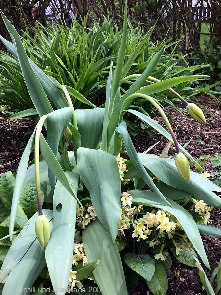 Tulpen mit hängenden Köpfen