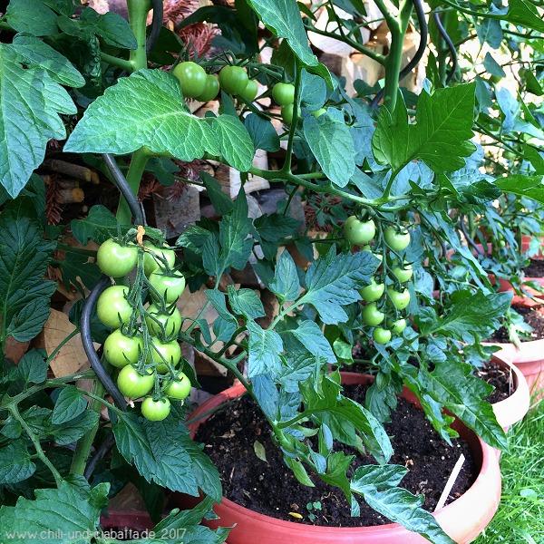 veredelte Piccolino-Tomaten