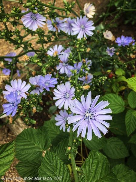 Salatzichorie Grumolo-Blüten