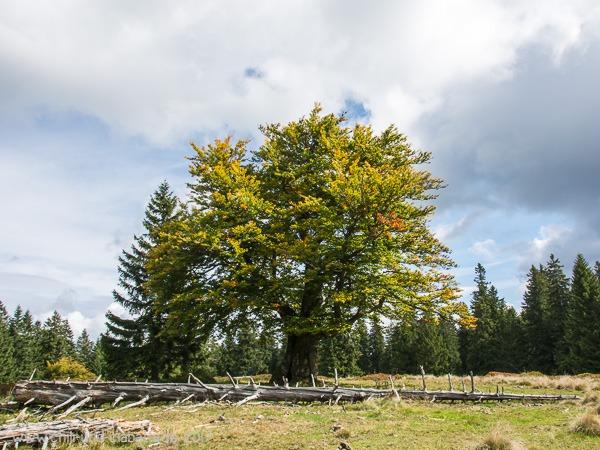 Hochzellschachten Baum