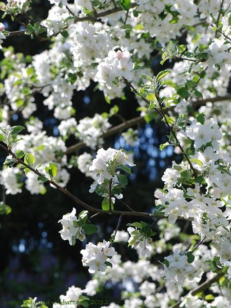 Blüte Boskoop Mai 2012