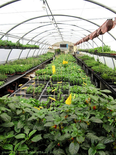 Chilipflanzen in der Raritätengärtnerei Treml, Arnbruck