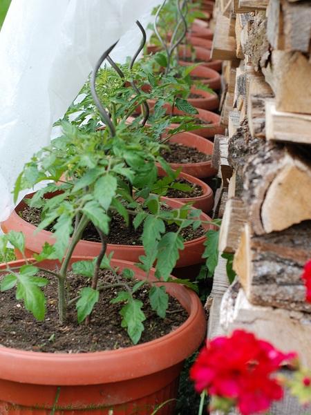 Tomaten hinter Vliesvorhang