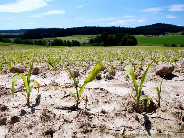 Verschlammte Maisfelder bei Miltach