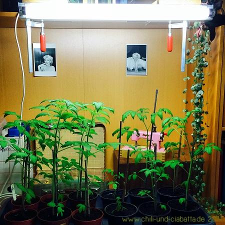Tomaten unter der Tageslichtlampe