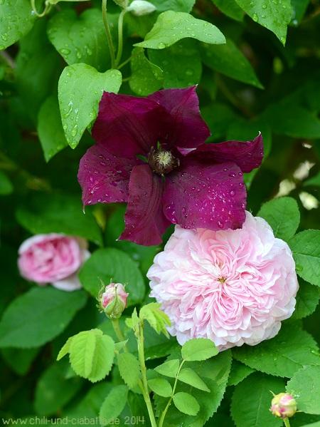 Clematis und Rose