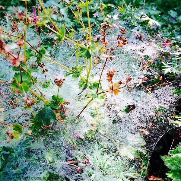 Spinnengespinst mit Tau
