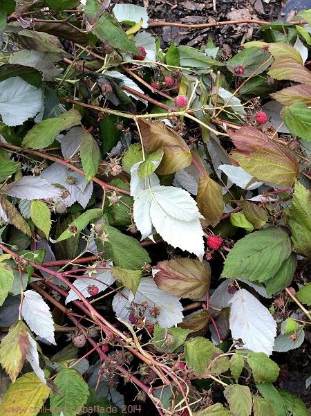 abgeschnittene Herbsthimbeeren