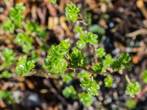 Erstes Stachelbeer-Grün