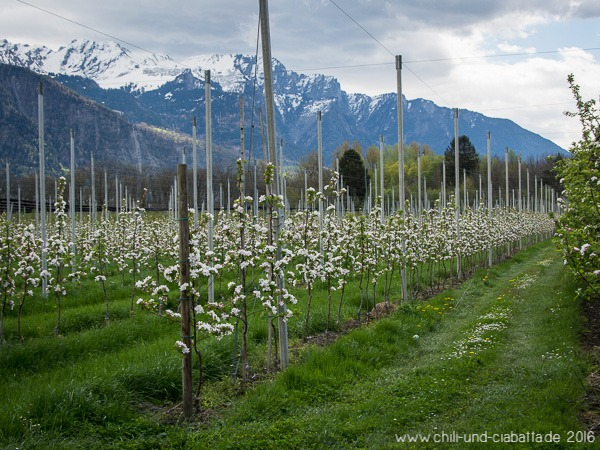Apfelblüte und Schneeberge