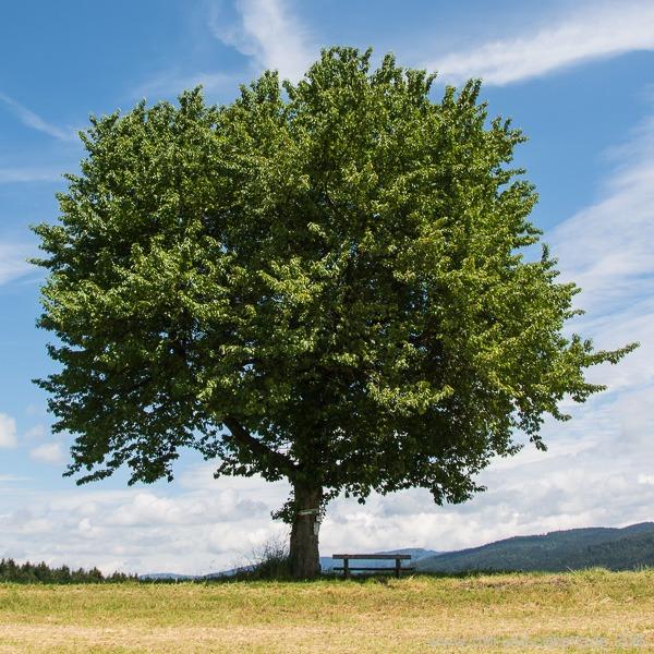 Jahreszeitenbaum Juni