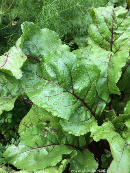 Regen auf Rote Bete Blättern