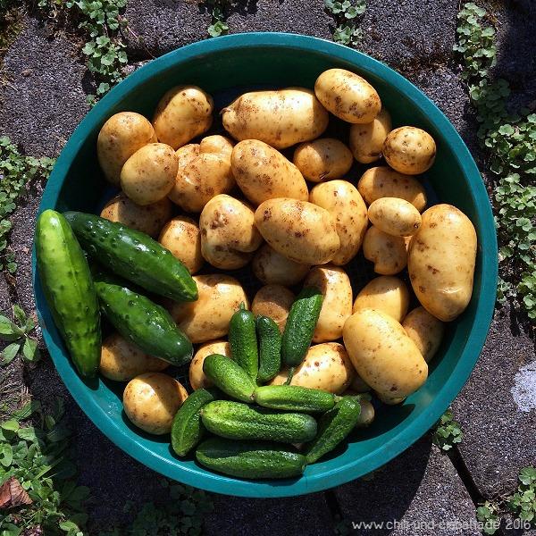 Ernte Agria Kartoffeln