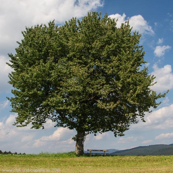 Jahreszeitenbaum im August