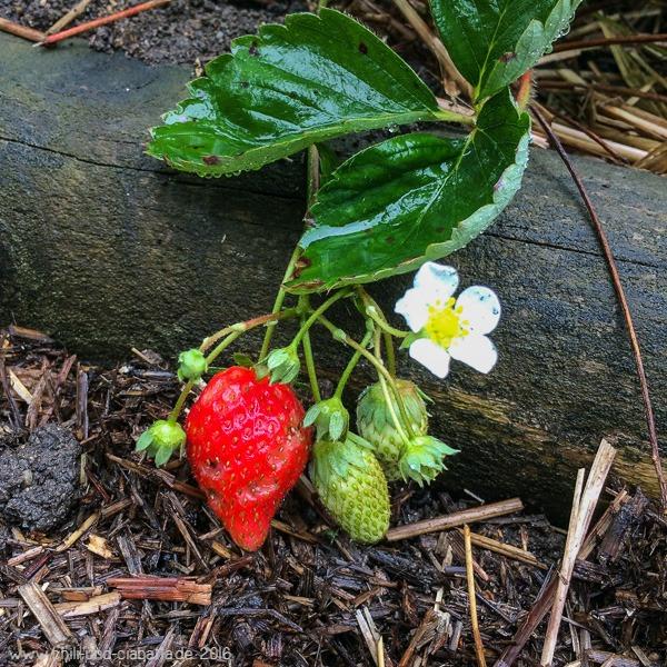 Erdbeer-Nachzügler