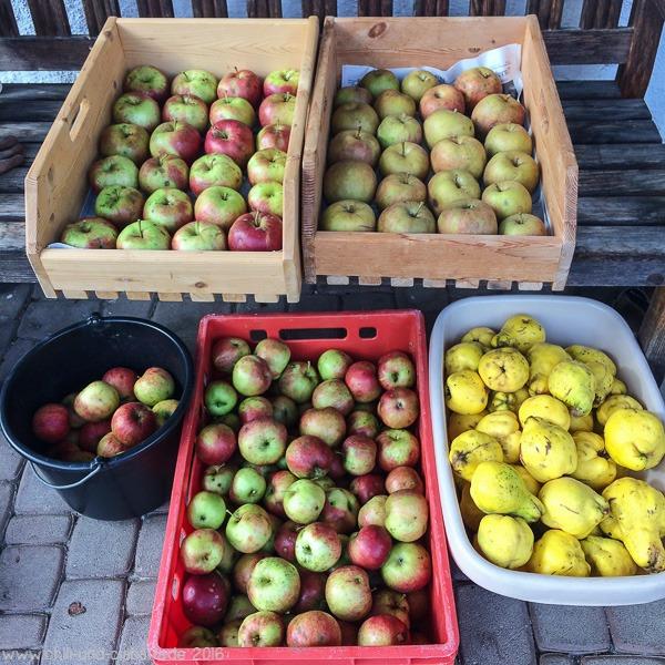 Letzte geerntete Äpfel und Quitten