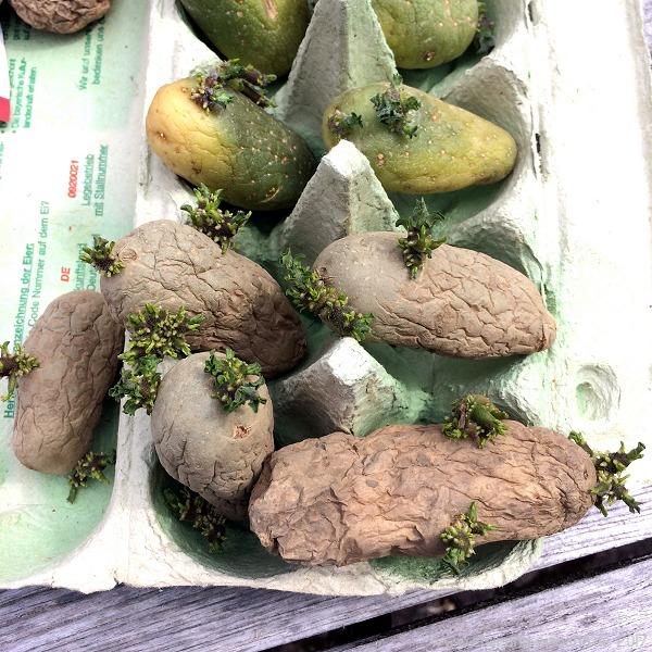 vorgekeimte Kartoffeln