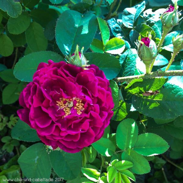 Rose Tuscany Superb