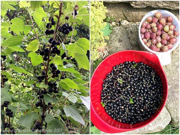 schwarze Johannisbeeren und erste Stachelbeeren
