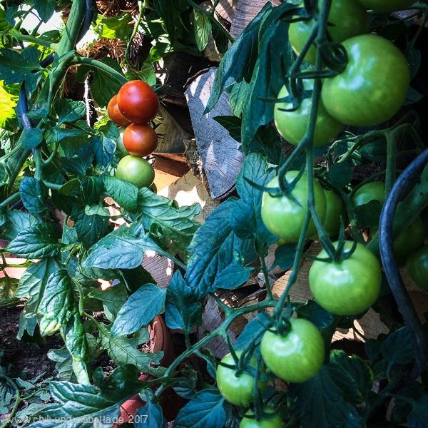erste rote Tomaten