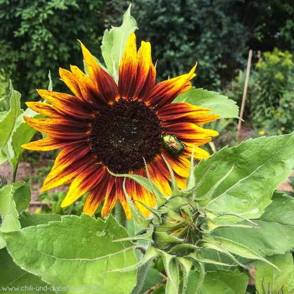 Sonnenblume mit Käfer