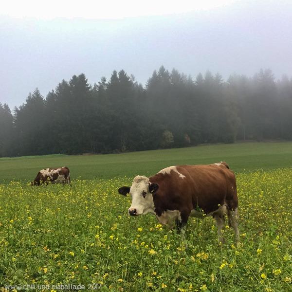 Kühe im Rapsfeld