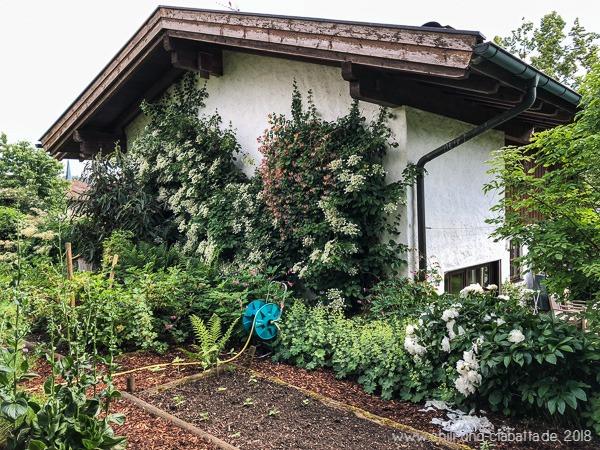 Kletterhortensie Haus