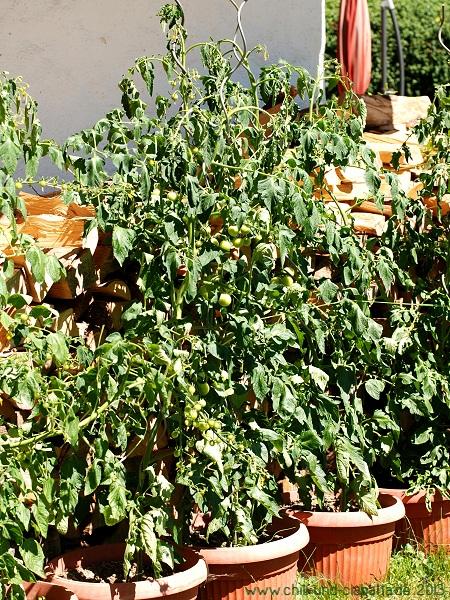 Tomaten im Hitzestress