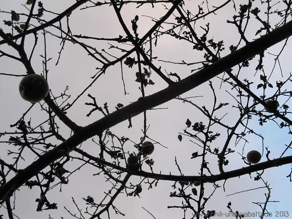 letzte Äpfel am Baum