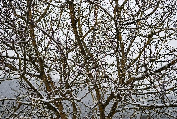 Nussbaum mit Neuschnee