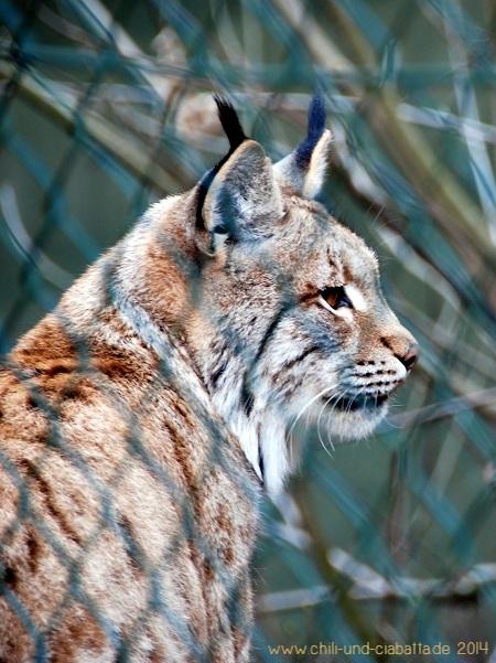 Luchs im Bayerwald-Tierpark Lohberg