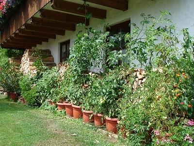 Tomaten Ende Juli